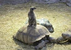 Meerkat obsiadanie na żółwiu Zdjęcie Royalty Free