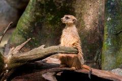 Meerkat olha afastado Imagem de Stock