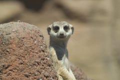 Meerkat olha a câmera Fotografia de Stock Royalty Free