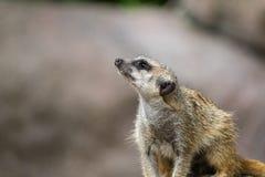 Meerkat olha interessado acima e espera o alimento imagem de stock