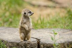 Free Meerkat On The Tree Trunk Royalty Free Stock Image - 168655276