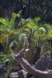 Meerkat op boom Stock Afbeelding