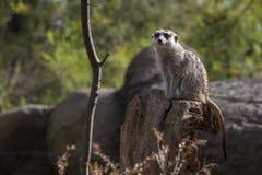 Meerkat op boomstomp Stock Fotografie