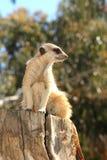 Meerkat op een boomstomp Stock Afbeeldingen