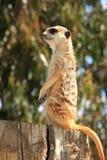 Meerkat op een boomstomp royalty-vrije stock afbeeldingen