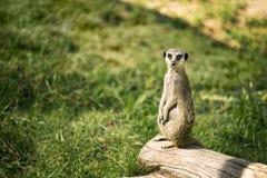 Meerkat op een horloge status royalty-vrije stock afbeeldingen