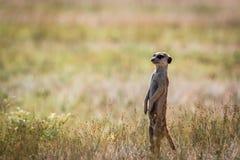 Meerkat op het vooruitzicht in Kgalagadi stock afbeelding