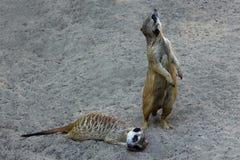Meerkat is op het zand stock afbeeldingen