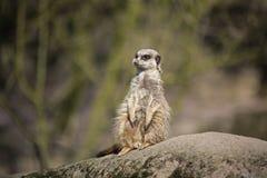 Meerkat op rots Stock Afbeelding