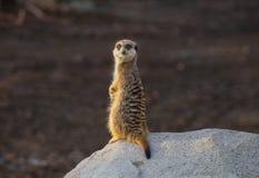 Meerkat op rots wordt bevonden die stock foto