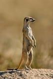 Meerkat op wacht royalty-vrije stock afbeeldingen