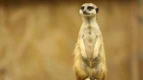 Meerkat op wacht