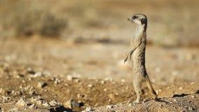 Meerkat op wacht stock footage