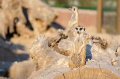 Meerkat op wachtplicht, die rond letten op voor stock afbeeldingen