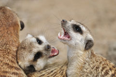 Meerkat with open mouth. Meerkat in group with open mouth and visible teeth Stock Photography