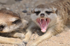 Meerkat with open mouth. Meerkat in group with open mouth and visible teeth Stock Photos