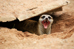 Meerkat  open mouth and visible teeth Royalty Free Stock Photography