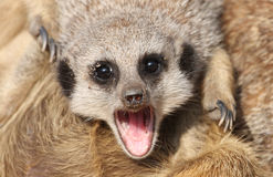 Meerkat Open Mouthed Royalty Free Stock Photography