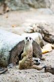 Meerkat in open safari Royalty Free Stock Photos