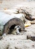 Meerkat in open safari Royalty Free Stock Images