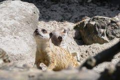 Meerkat in open zoo looking out Stock Photos
