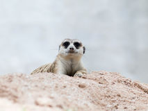 Meerkat. In open zoo thailand Royalty Free Stock Photo