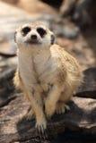 Meerkat in open zoo Stock Photos