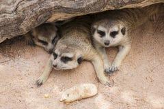 Meerkat in open zoo Stock Image