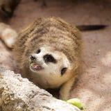 Meerkat in open zoo Royalty Free Stock Image
