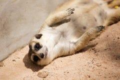 Meerkat in open zoo Royalty Free Stock Photography
