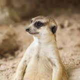 Meerkat in open zoo Royalty Free Stock Images