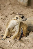 Meerkat in open zoo Royalty Free Stock Photos