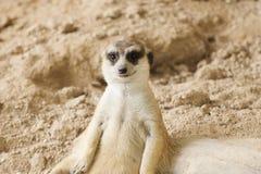 Meerkat in open zoo Stock Images