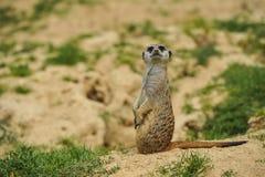 Meerkat på klockan i savannah royaltyfria bilder