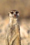 Meerkat på utkikarbetsuppgift Fotografering för Bildbyråer