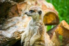 Meerkat på vakt 8 arkivbilder