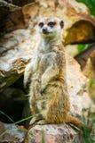 Meerkat på vakt 6 royaltyfri bild