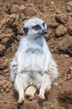 Meerkat på vilar Arkivfoto