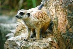 Meerkat på zoo Arkivbild