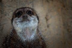 Meerkat på zooen arkivfoton