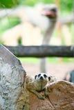 Meerkat på zoo Fotografering för Bildbyråer