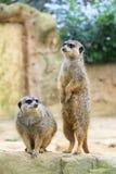 Meerkat-Paare Lizenzfreie Stockfotos