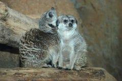 Meerkat pair Royalty Free Stock Images