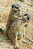 Meerkat Pair. One meerkat stands behind another meerkat as they play together Stock Images