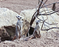 A Meerkat Pair Ever Alert to Danger Stock Photo
