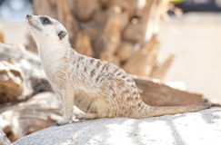 Meerkat in the park Stock Photo