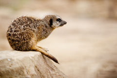 Meerkat Royalty Free Stock Photos