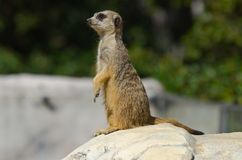 Meerkat patrolling stone Royalty Free Stock Photography