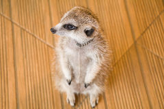Meerkat patrzeć zdjęcia stock
