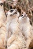 Meerkat patrzeje oddolny obrazy stock